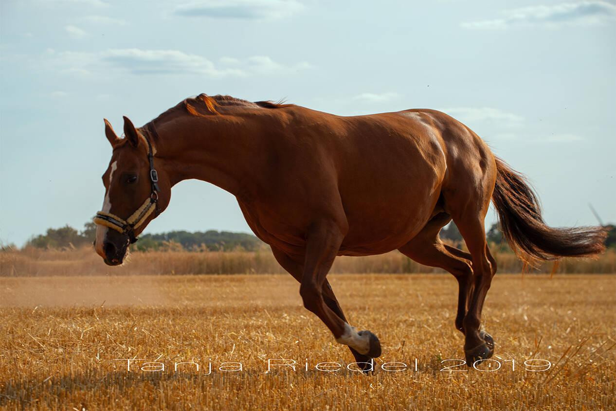 Pferde Fotografie im Freilauf