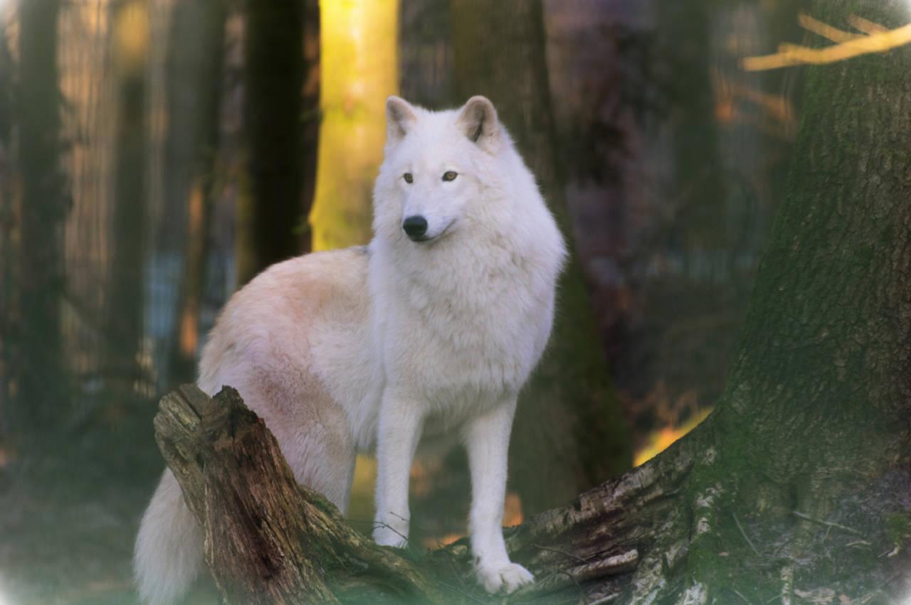 Polarwolf Canis lupus arctos