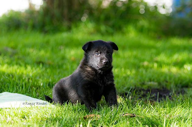 Schwarzer Herder Schäferhund Welpe