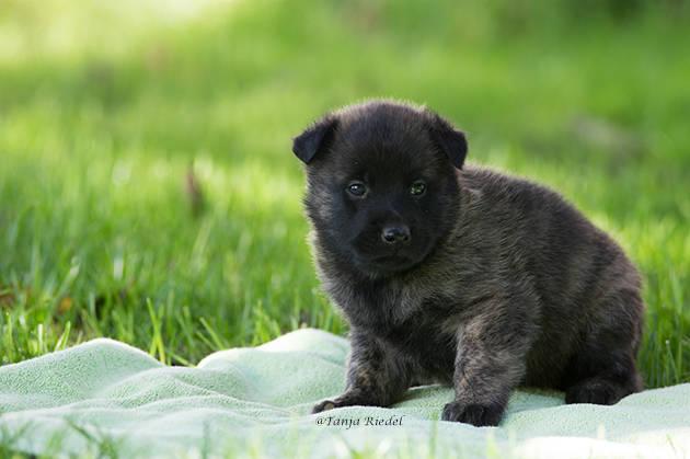 Holländische Schäferhunde 4 Wochen alt
