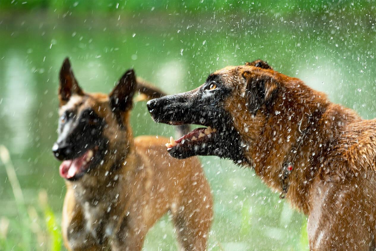 Belgischer Schäferhund, Malinois, treu, Begleiter auf vier Pfoten,  Haustier Fotografie günstig im Preis