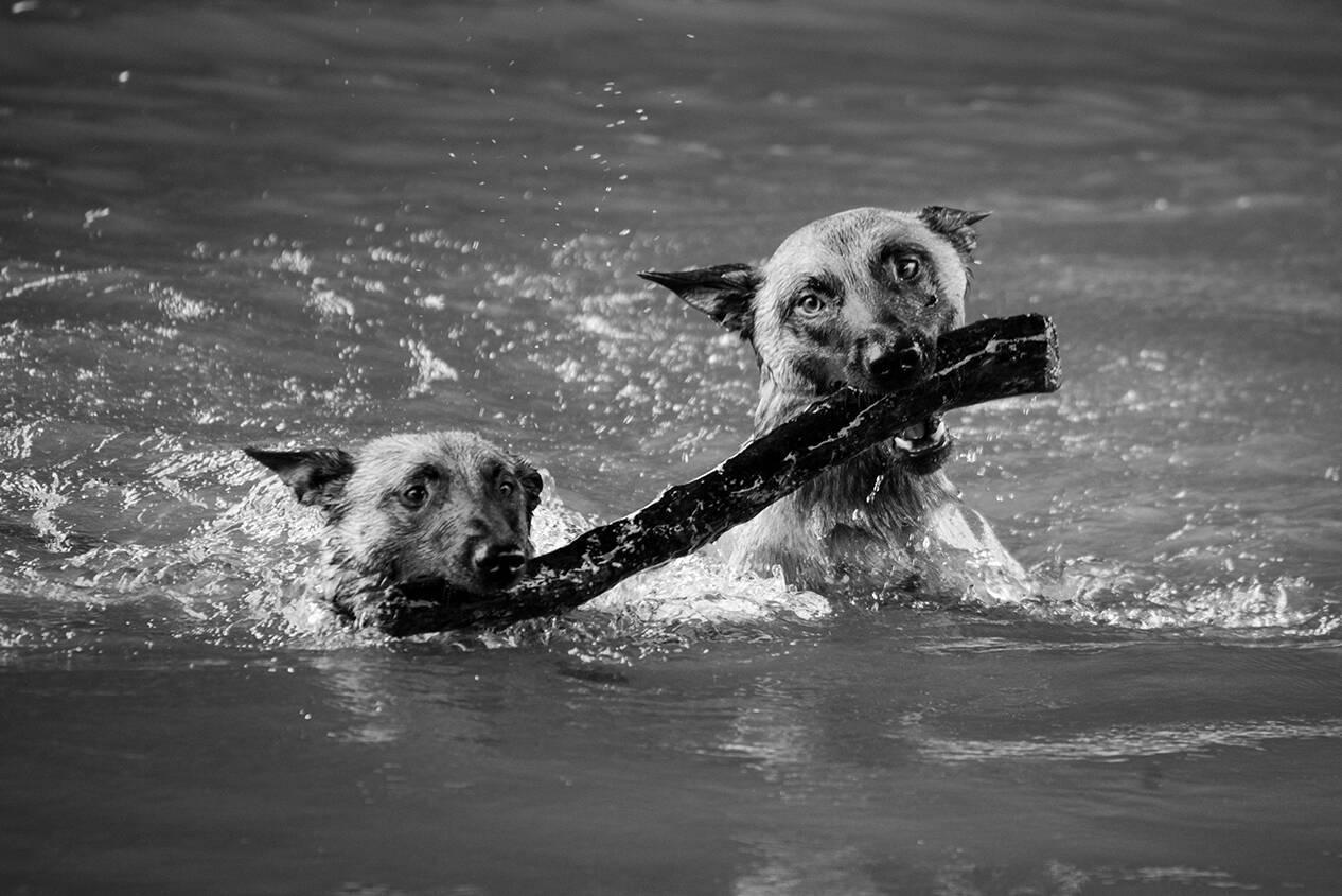 Hunde Malinois beim Schwimmen