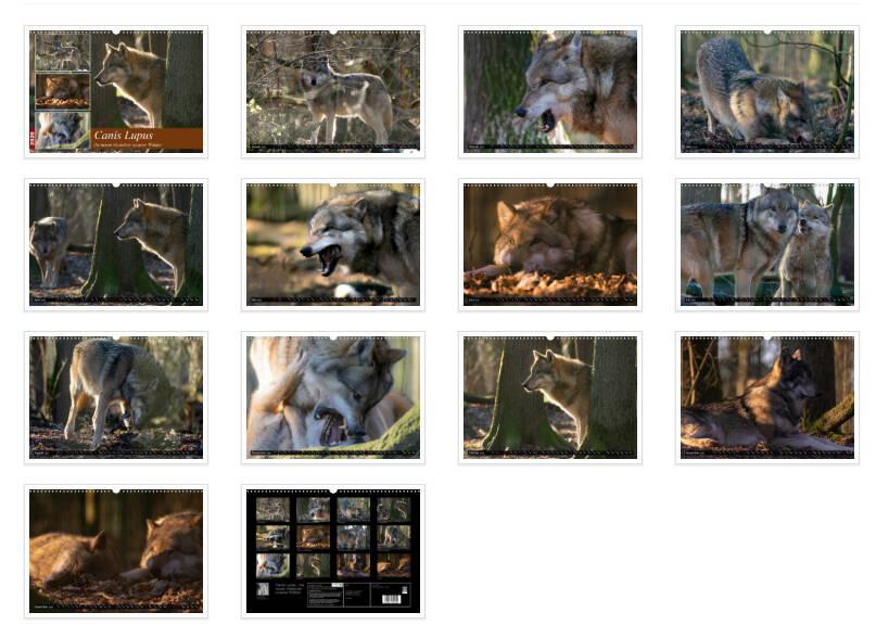 Canis Lupus der Wolf in unseren Wäldern, ein mystisches Tier um das sich viele Geschichten ranken, in der Neuzeit sowie aus dem Mittelalter