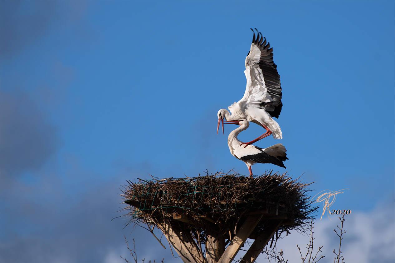Storch bei der Verpaarung für die Saison 2020