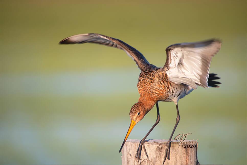Eine Uferschnepfe, diese ist international und national auf der Roten Liste. Dieser Feuchtwiesenbrüter ist ein hübscher und eleganter Vogel. Die Lateinische Bezeichnung ist Limosa Limosa. Seine rote Brust trägt er zur Paarungszeit.