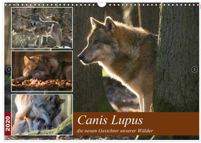 Canis Lupus - Wölfe in unseren Wäldern - majestätische Tiere erobern sich ihr Land zurück