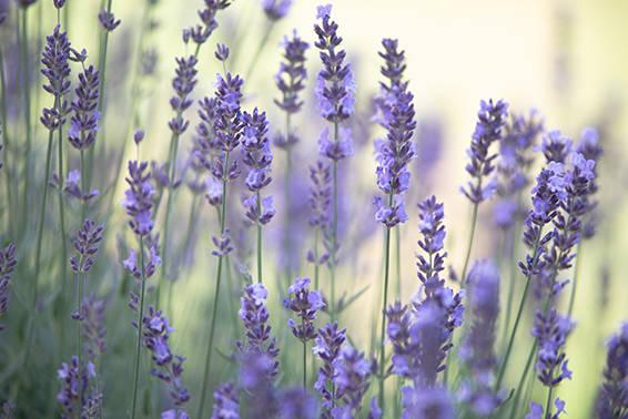 Sommer Lavendel Duft aus dem Garten