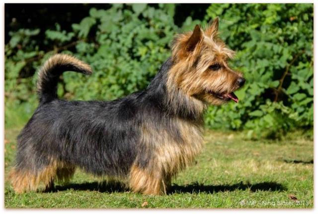 Australian Terrier, Lesnoy´s, James T. Kirk, 2014