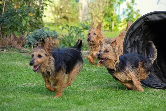 Australian Terrier, Lesnoy´s, James T. Kirk, 2014, Aussie- Treff