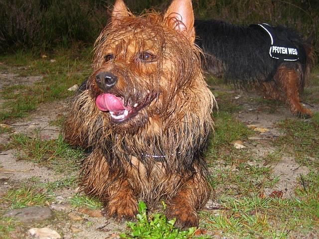 Danilo, Lesnoys, Australian Terrier, Terrier, Hund, Züchter, Zucht, Baby, Donatello, Trailen, Mantrailing