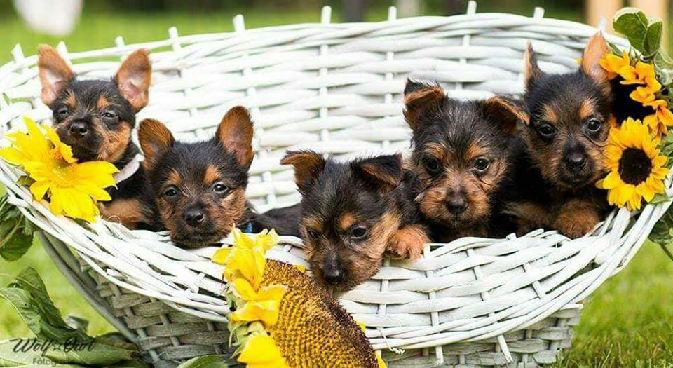 Australian Terrier Lesnoys, Welpen O-Wurf, Lesnoys, Australian Terrier, Terrier, Züchter, O Wurf,