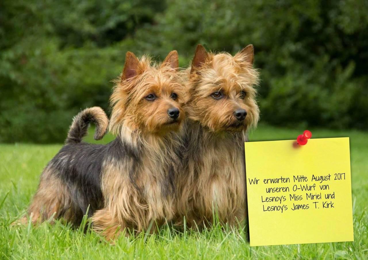 Australian Terrier, Terrier, Lesnoys, Hund, Dog, Breeder, Welpen, Zucht