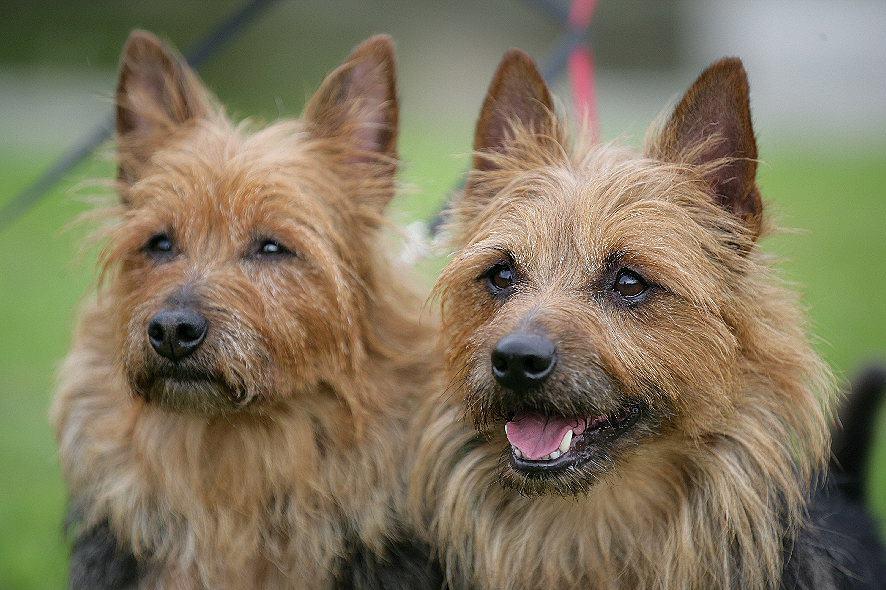 Lesnoy´s Australian Terrier, Dasha, Jack, Terrier, Aussie