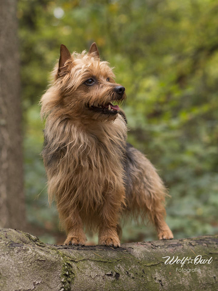 Australian Terrier, Lesnoy's, James T. Kirk, World Dog Show, Leipzig V4, Hund, Breeder, Züchter