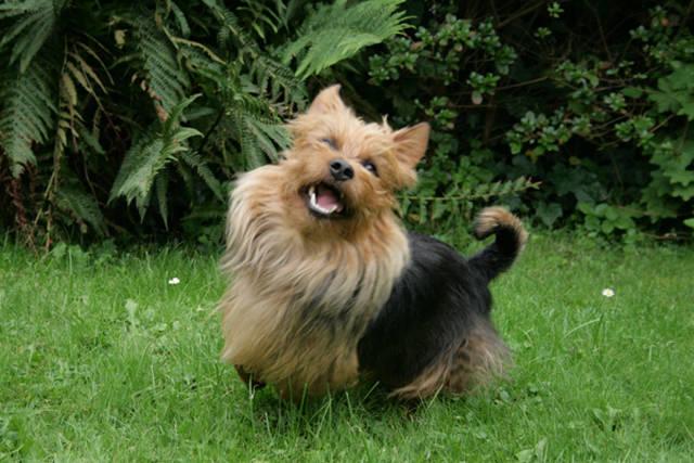 Terrier, Australian Terrier, Aussie, Lesnoy´s, Ausstellung, Zwischenklasse, Zucht, Bensheim
