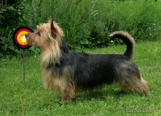 Australian Terrier Lesnoy´s James T. Kirk, Ausstellung Lingen 2014, BOB, Breeder, Züchter