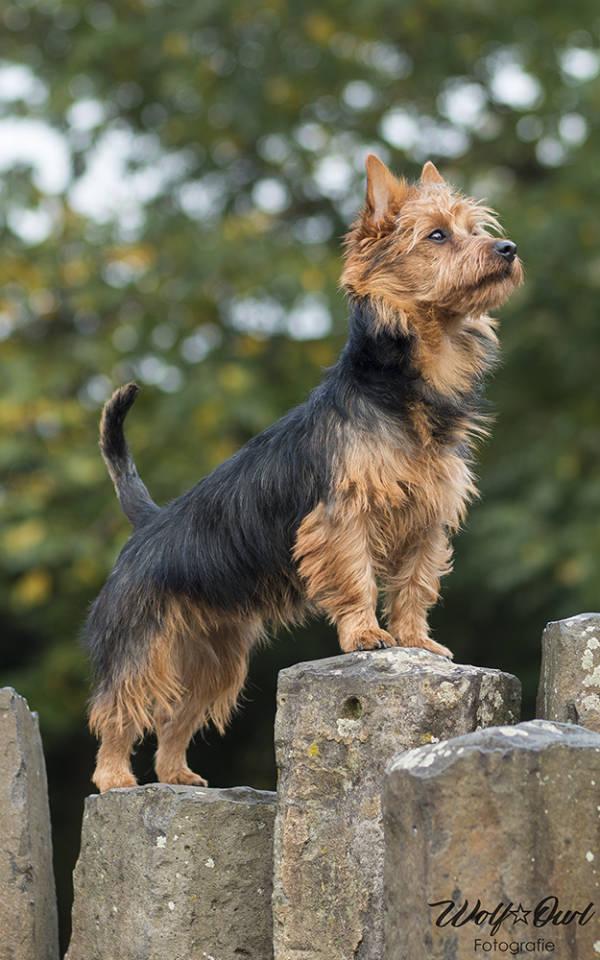 Lesnoy's, Australian Terrier, Terrier, Hund, Zucht, Show, VDH, World Dog Show, WDS, 2017, Best Puppy of Breed, BOB