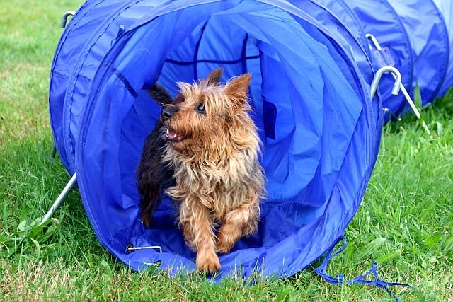 Dorica´s Xtra Ordinary Lady, calles Amy, Lesnoy´s, Australian Terrier
