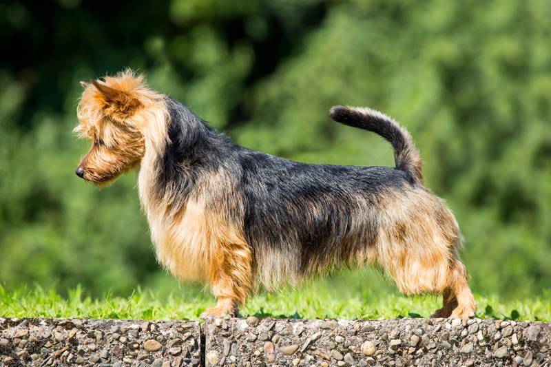 Australian Terrier Lesnoy's James T. Kirk