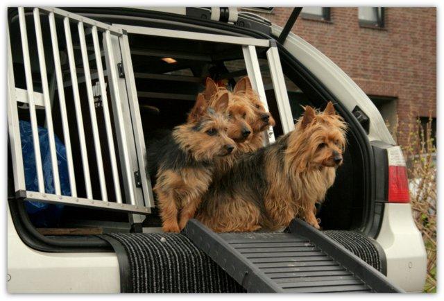 James, Junghund, Australian Terrier, Aussie, Lesnoy´s, Autorampe