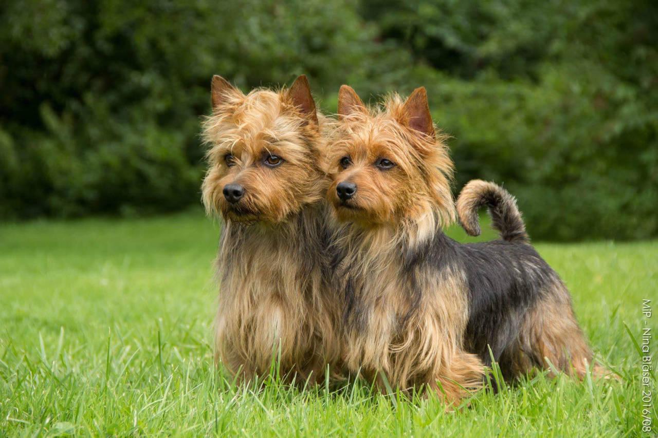 Australian Terrier Lesnoys James T. Kirk und Lesnoys Miss Miriel, Bundessieger Ausstellung VDH