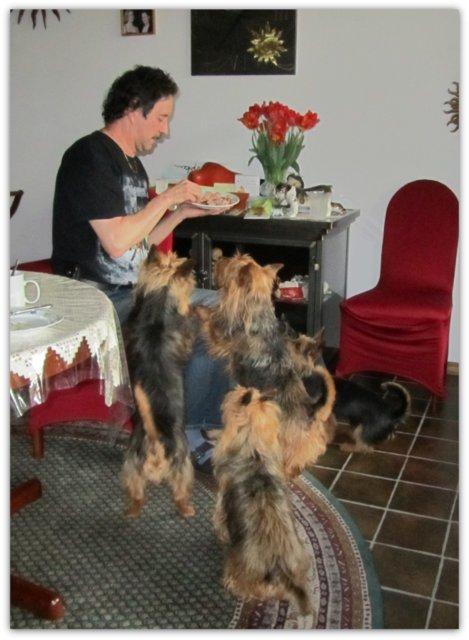 James, Junghund, Australian Terrier, Aussie, Lesnoy´s, Terrier, Frühstück