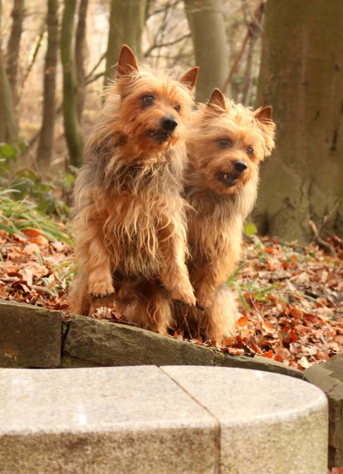 Australian Terrier, Lesnoys, Terrier, VDH, KfT, Züchter, Hund, Pet, Aussie
