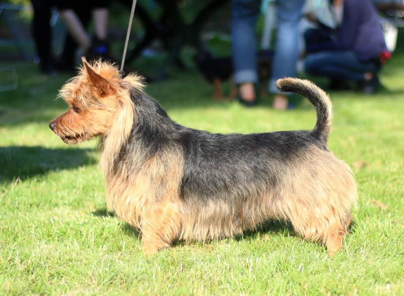 Australian Terrier Lesnoy's James T. Kirk 2016
