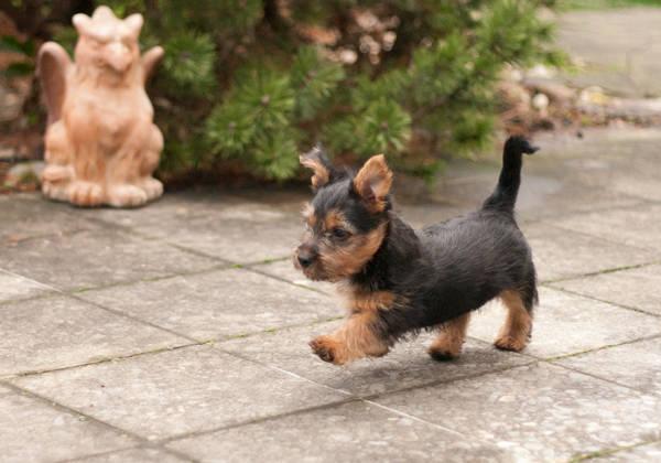 Australian Terrier, James T. Kirk, Lesnoy´s, Terrier, Welpe