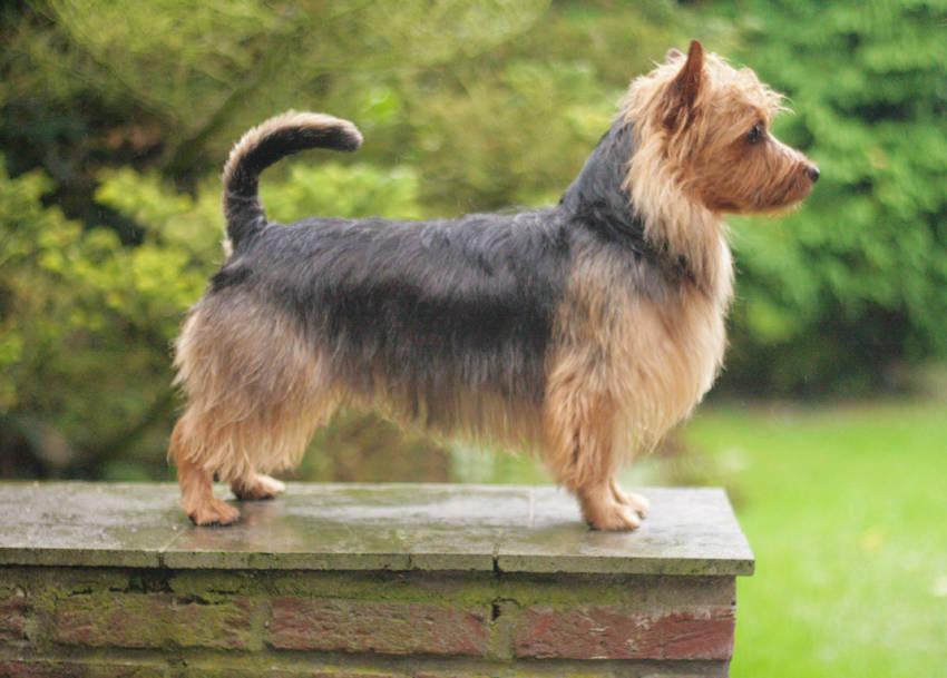 Lesnoys, James T. Kirk, Australian Terrier, Terrier, Hund, Rüde, Deckrüde, Zucht, Züchter,