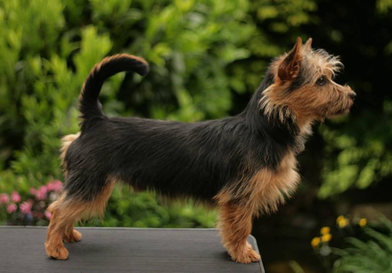 James T. Kirk, Junghund, Australian Terrier, Aussie, Lesnoy´s