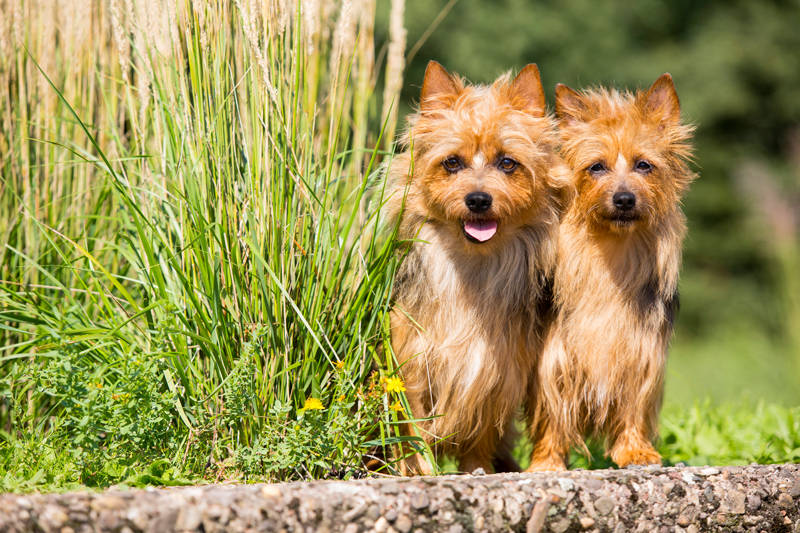 Australian Terrier, Lesnoys, Zucht, Foto, Hund, Terrier,
