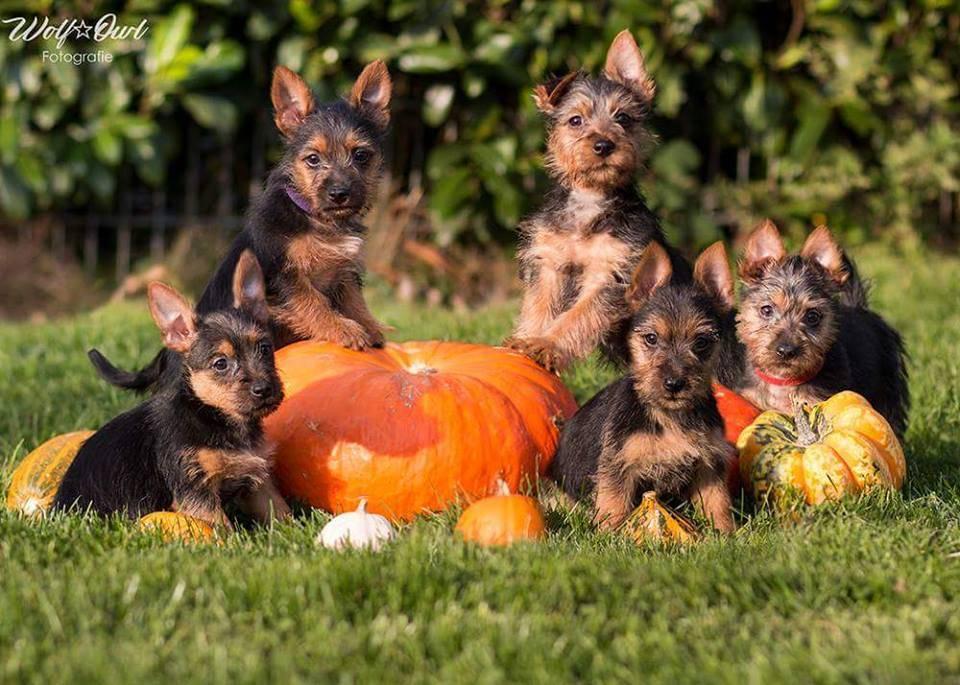 Australian Terrier, Züchter, Lesnoys, Breeder, VDH, KfT, Halloween,