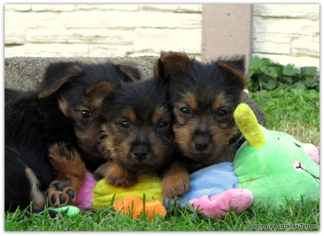 Australian Terrier Lesnoys, Terrier, Aussies, Welpen 2013