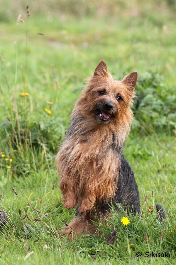 Australian Terrier Lesnoy´s Gentle Jack Sparrow
