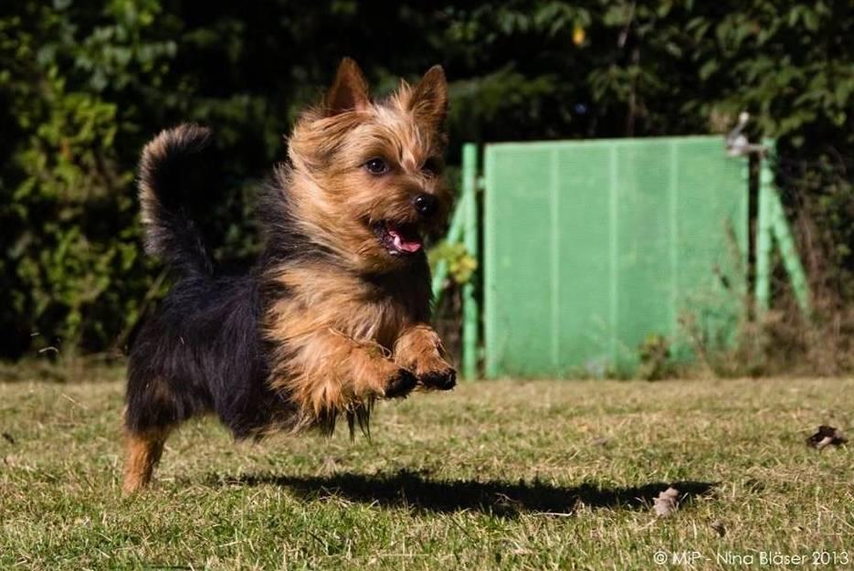 Australian Terrier, Lesnoy´s, James T. Kirk, 2014, Terrier,
