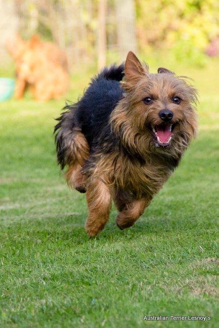 Dortmund, Bundessieger, Terrier, James T. Kirk, Australian Terrier, Hund, Herbstsieger