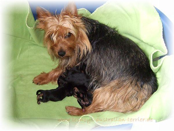 Lesnoys, Australian Terrier, Züchter, Breeder, VDH, FCI, Terrier, Hund