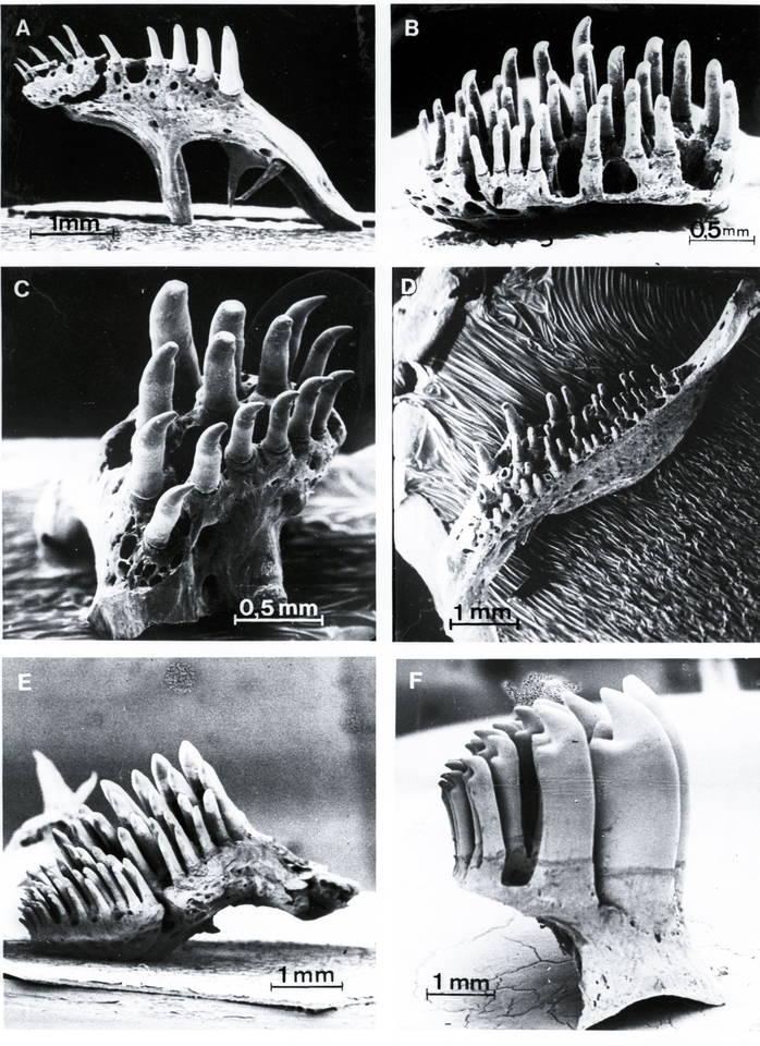 Zähne des Pharyngealgebisses von Labyrinthfischen