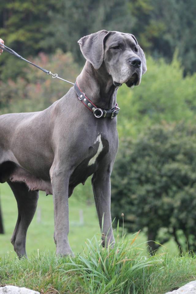 Deutsche dogge austria blue dream