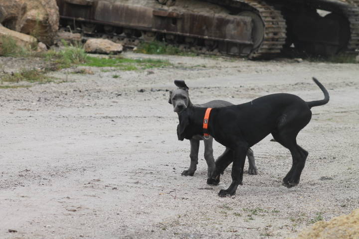 Deutsche Doggen Mea Culpa züchter blau Österreich