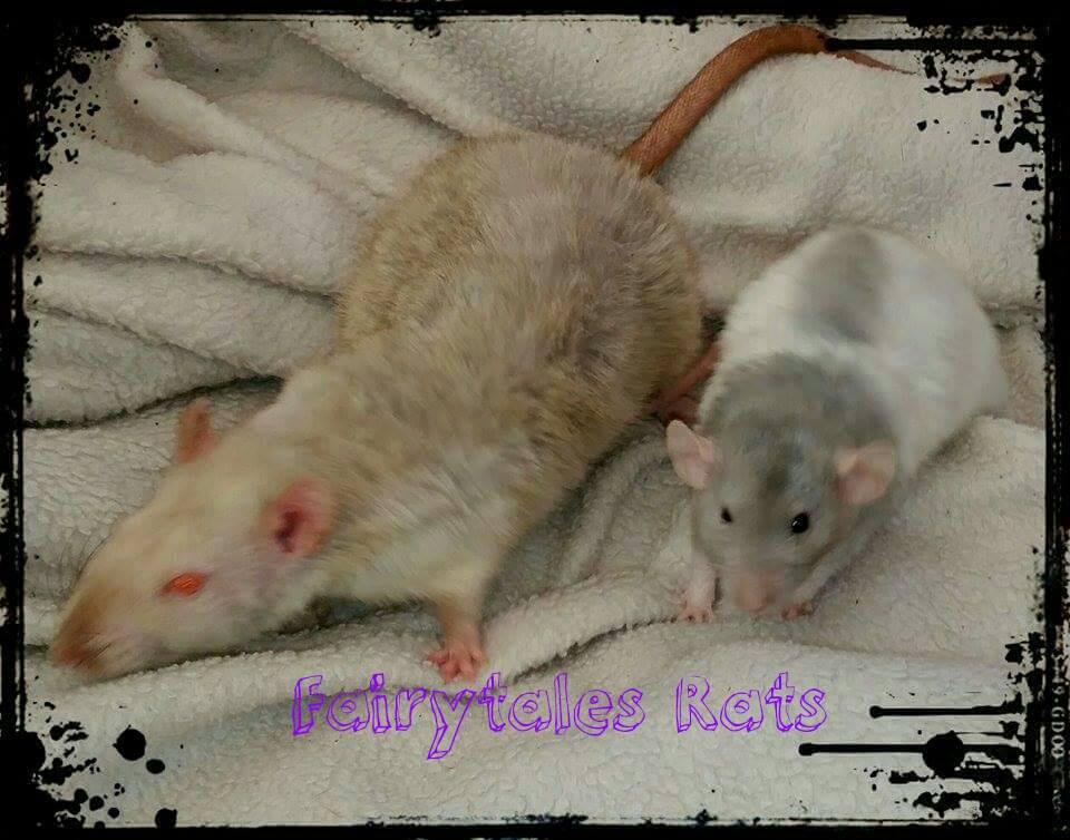 Dwarf und Standard Ratte