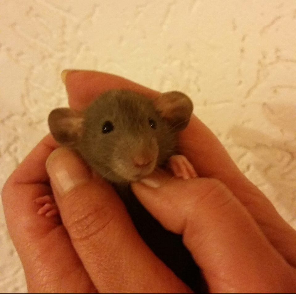 Ratten Zucht