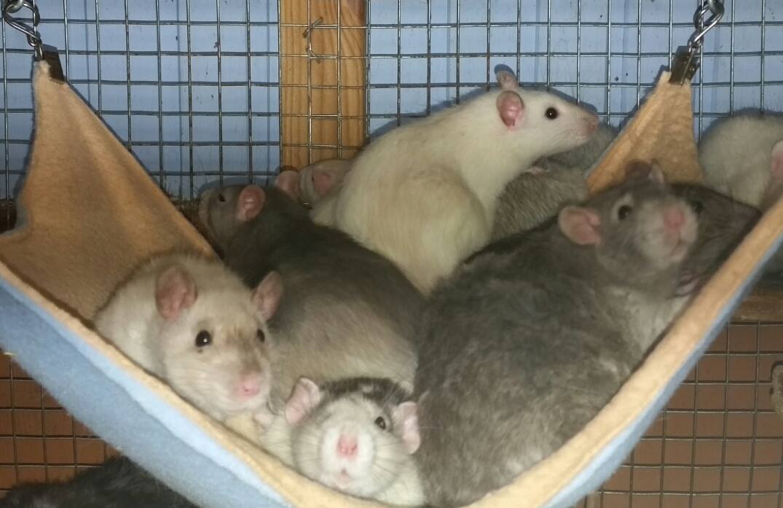 Ratte Rudel