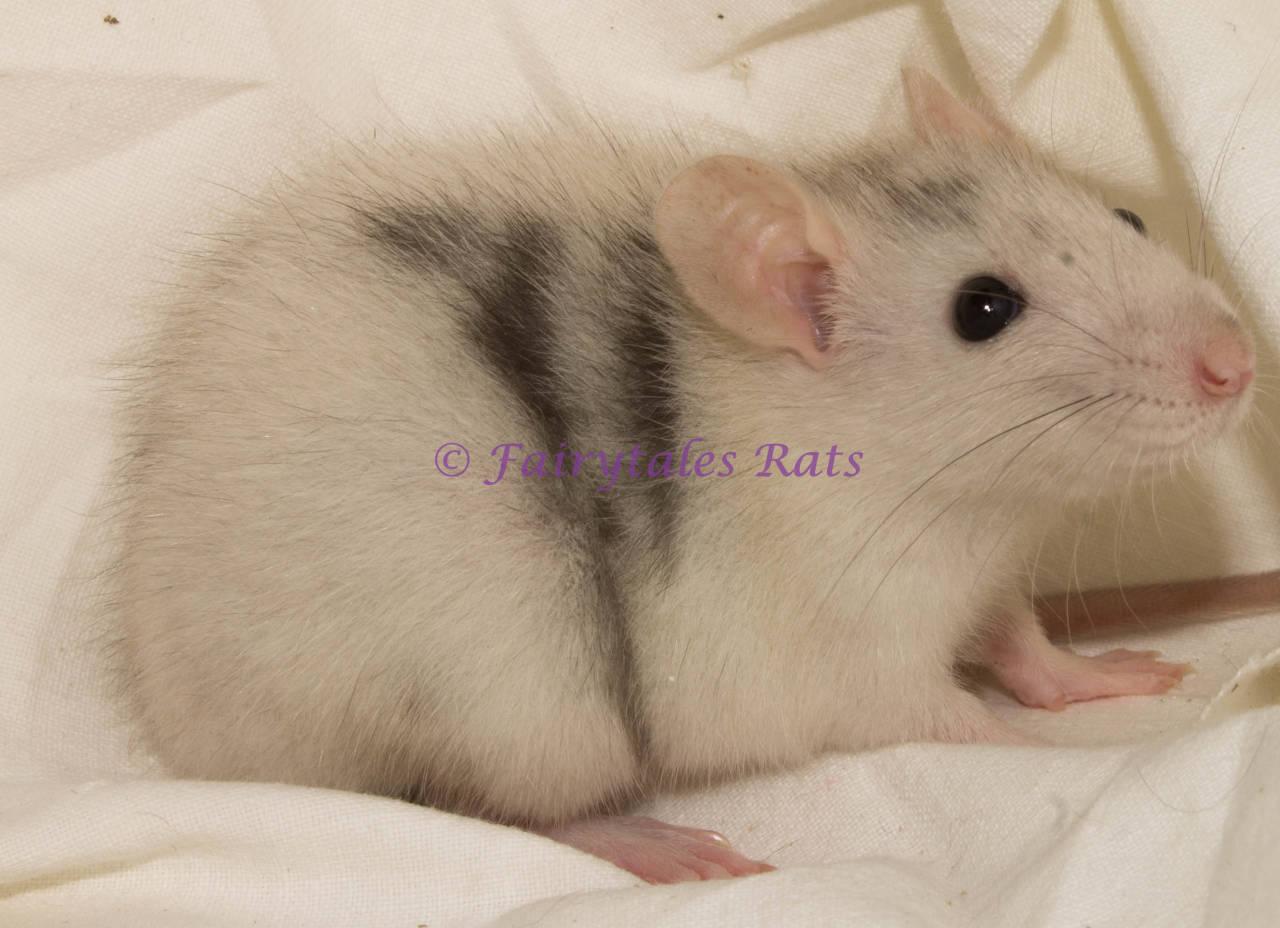 Merle Ratte Rat