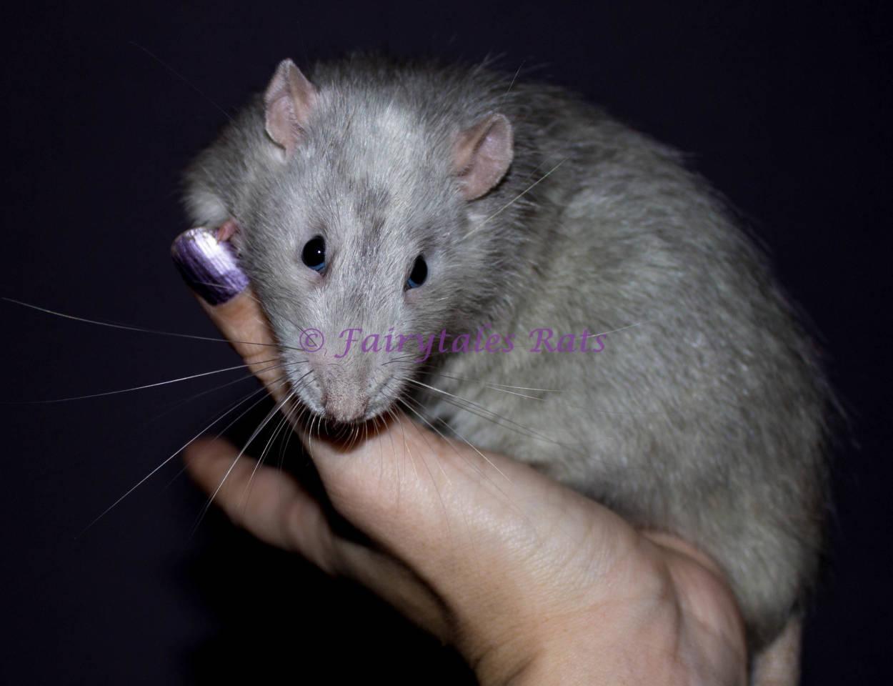 Marble Ratte Genetik
