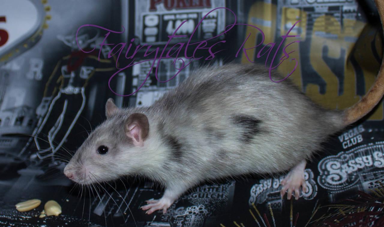 Marble Ratte Rat