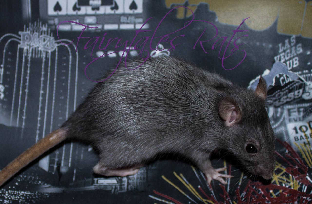 Silvermane Ratte