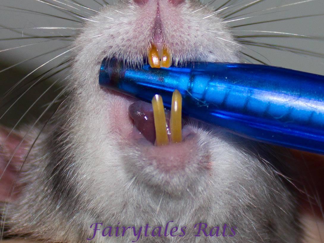 Fairytales Rats