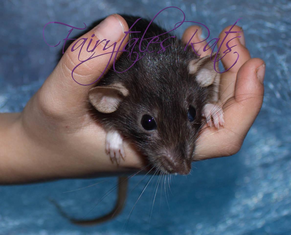 Dwarf Ratte